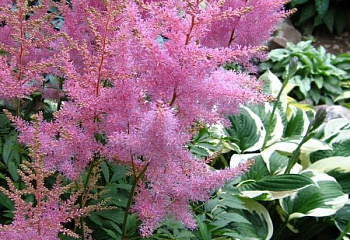 Астильба Astilbe Finale
