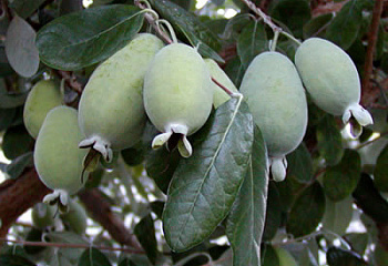 Фейхоа Feijoa Coolidge