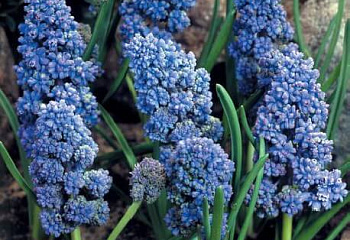 Мускари Muscari Blue Spike