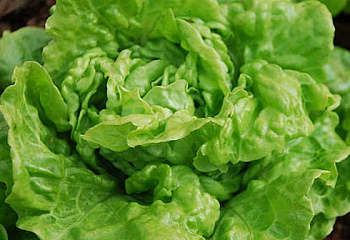 Салат Lettuce Tom Thumb Mini
