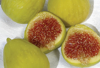 Инжир Fig Prestons Prolific