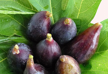 Инжир LSU Purple Fig