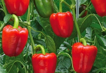 Перец сладкий  Sweet pepper Tweety Hybrid