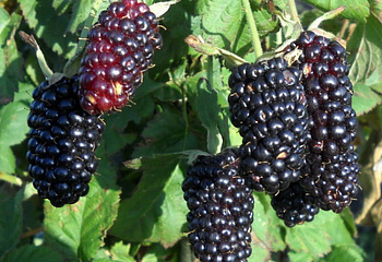 Ежевика Rubus Bedford Giant Blackberry