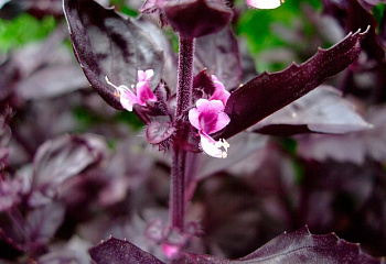Базилик Basil Osmin Purple