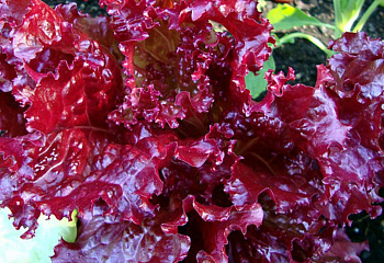 Салат Lettuce Rubin Red
