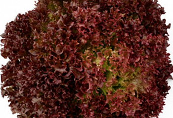 Салат Lettuce Salanova Red Incised Leaf