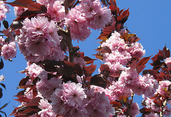 Вишня - сакура Prunus serrulata Royal Burgundy