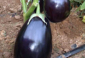 Баклажан Eggplant Perfection F1