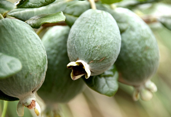Фейхоа Feijoa Fragrant