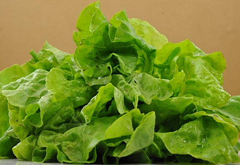 Салат Lettuce Truimpheter or Glory of Voorburg