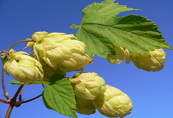 Хмель Hops Brewers Gold