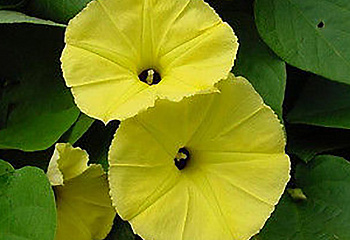 Ипомея Ipomoea Chinese Yellow