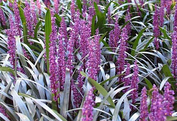 Лириопе Liriope Royal Purple