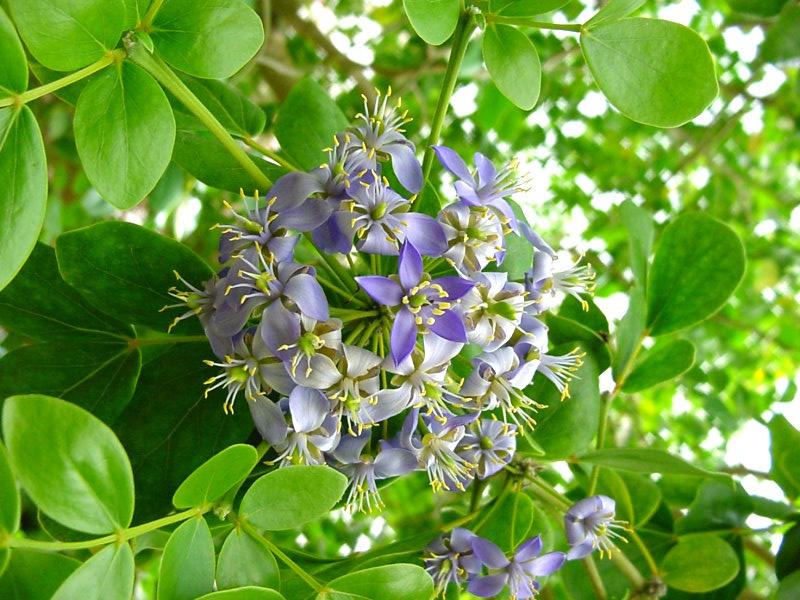 зев обозначает гваяковое дерево фото появившихся