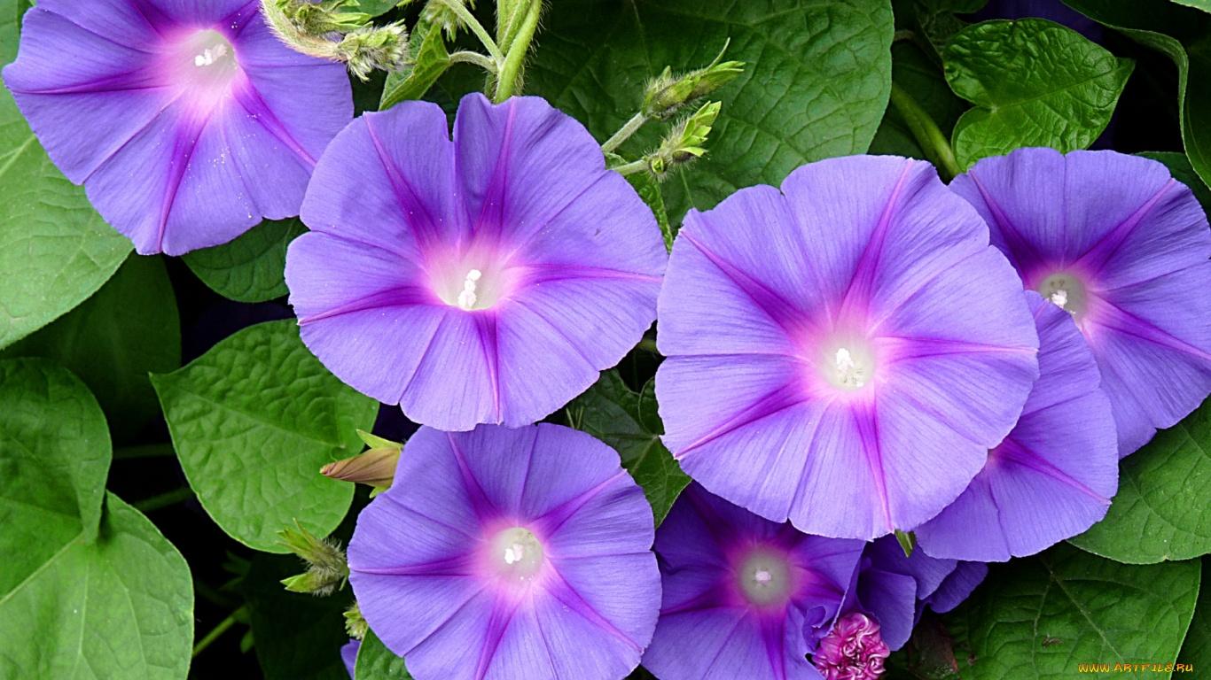 Цветок ипомея картинки