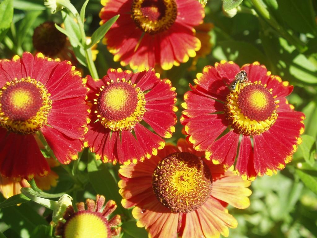 Картинка цветок гелениум