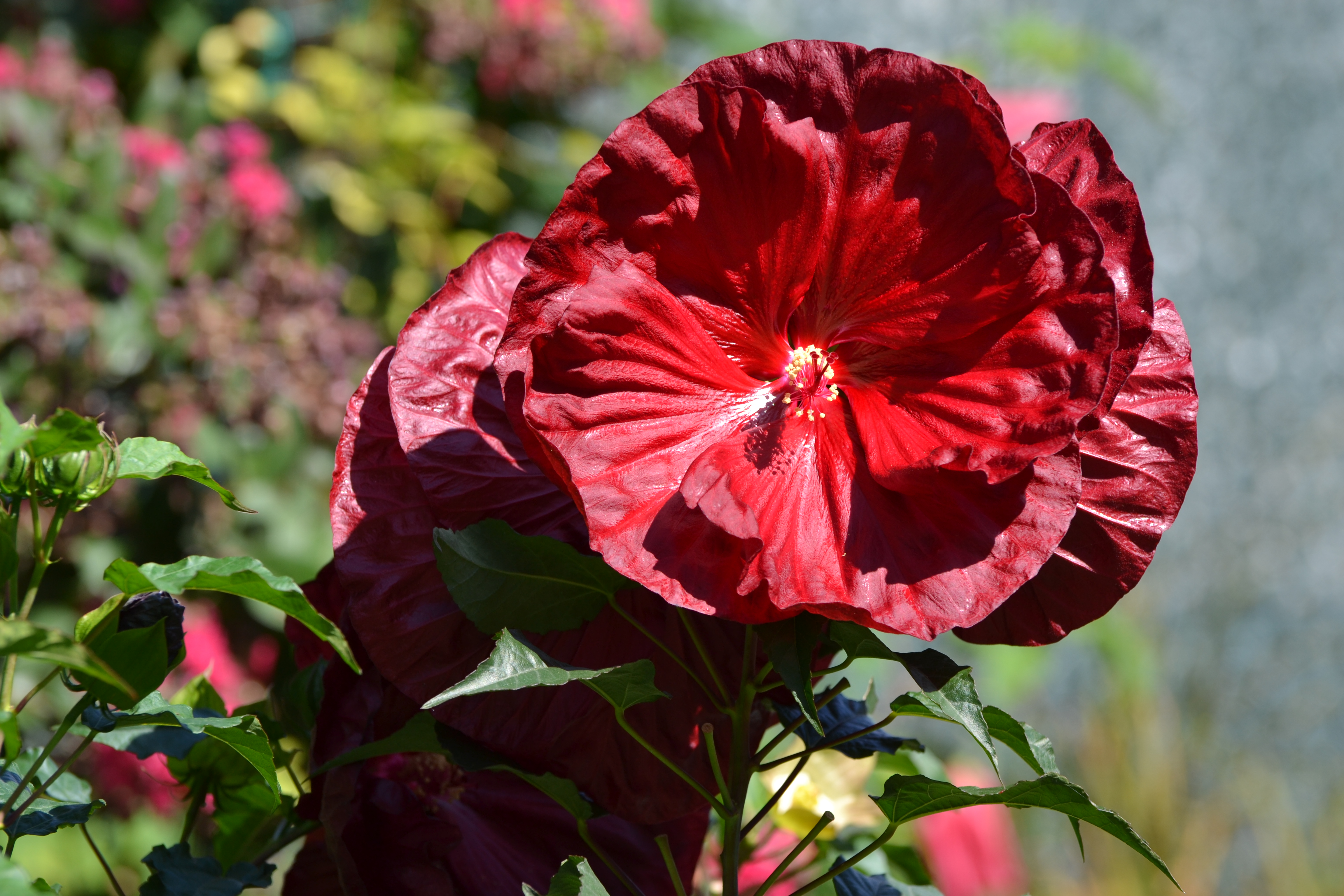 Гибискус Hibiscus Robert Fleming