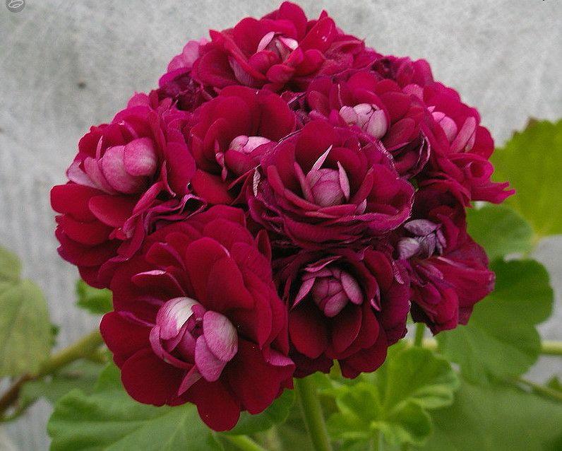 пеларгония розебудная фото которые шьют случая