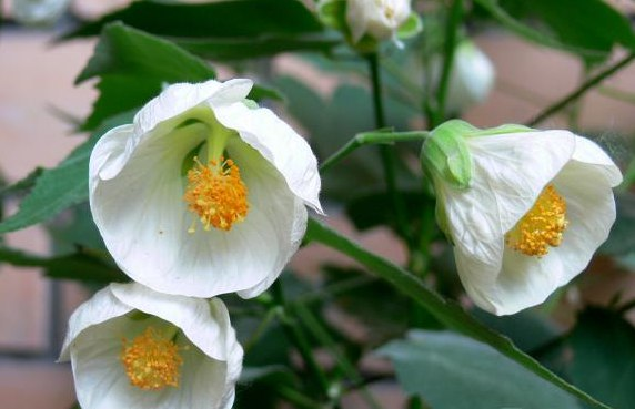 Абутилон Abutilon White King