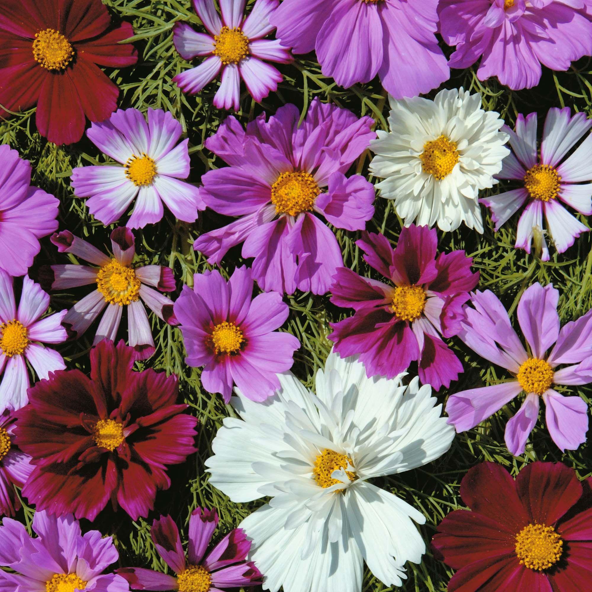 Цветы картинки космея