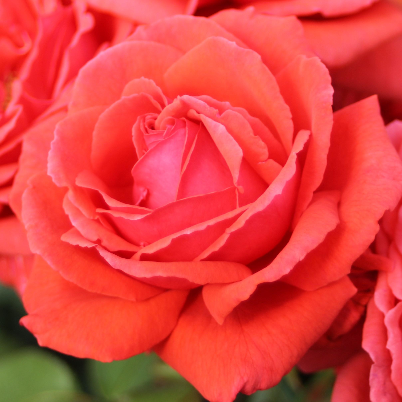 розы цвета лосося фото него они шли