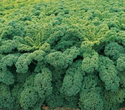 капуста кале семена в москве