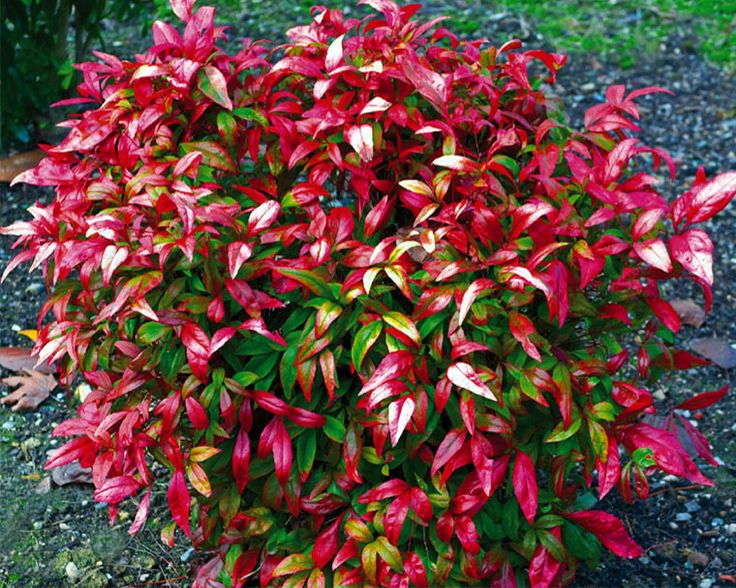 Нандина Nandina Fire Power