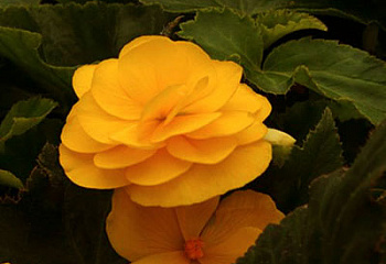 Бегония Begonia Nonstop Mocca Yellow