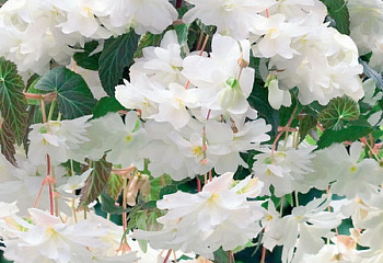Бегония Begonia Illumination White