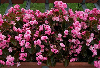 Бегония Begonia Nightlife Deep Rose