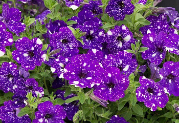 Петуния Petunia Starlight Night