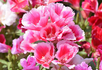 Кларкия Clarkia Apple Blossom