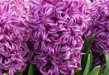 Гиацинт Hyacinthus Purple Sensation