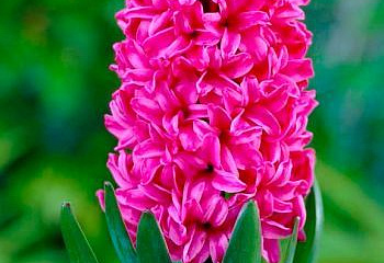 Гиацинт Hyacinthus Vuurbaak