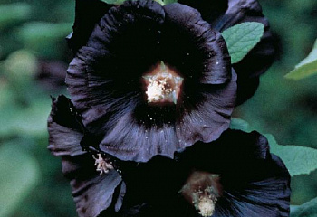 Мальва Alcea Black Piramid